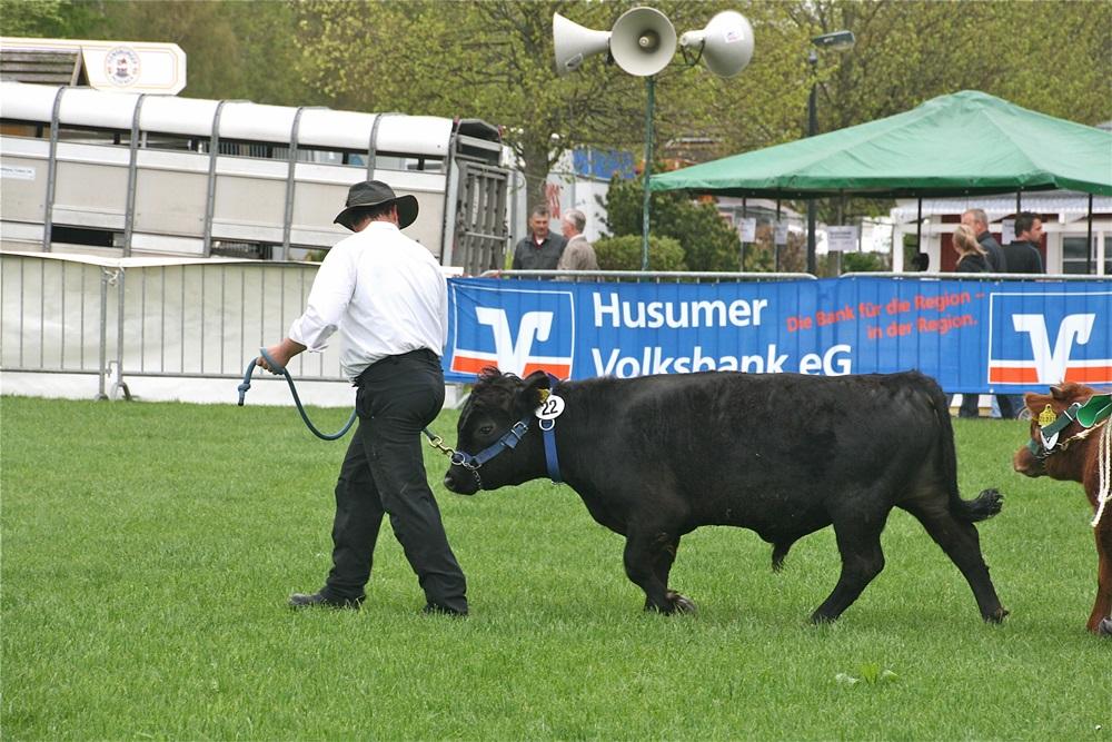 Emmas hornloser Sohn Großensee Ideus von Igel auf der Landesfleischrinderschau in Viöl 2013