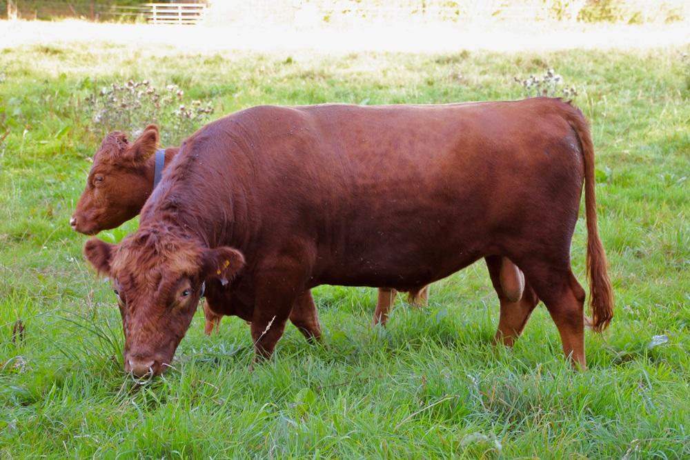 Ruddle Somerset, geboren am 7.7.2011 in Somerset, UK. Wir importieren ihn im Frühjahr 2013. Genetisch reinerbig hornlos und einfarbig rot. Gekört mit 7/7/8. Mit 2 Jahren 119 cm Hüfthöhe. Somerset bleibt eine Saison bei uns und geht dann auf die Besamungsstation Göpel. Inzwischen ist er Deckbulle in einer großen Herde in Tschechien.